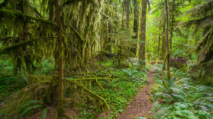 Fairy green forest. Large trees were overgrown with moss. The sun's rays fall through the leaves. Iron Creek Campground trails, Mount St Helens - East Part