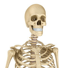 Autocollant pour porte Doux monstres Torso of human skeleton, isolated. Medically accurate 3d illustration .