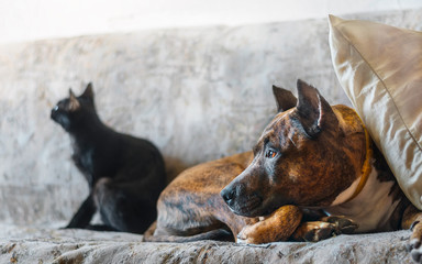 Fighting dog and a black cat resting on sofa
