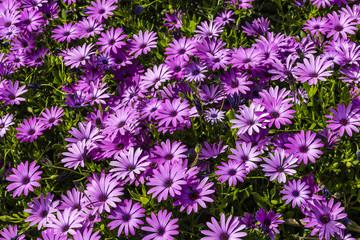 Carpet of Purple osteopermum African daisies close-up.