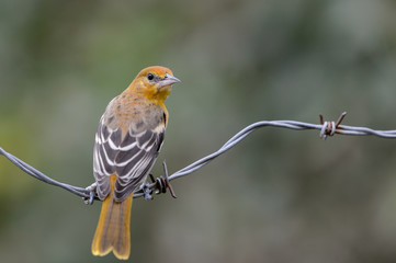 Young Male Oriole on Barbed-wire