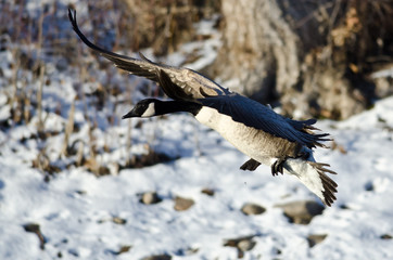 Canada Goose Landing on the Snowy Winter River