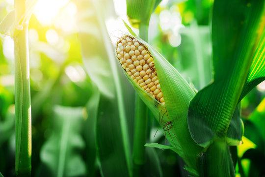 Fresh cob of ripe corn on green field at sunset
