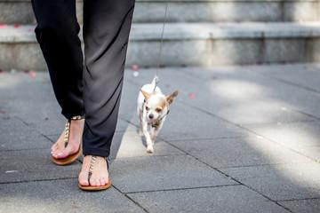 Elegante Frau führt ihren Chihuahua aus