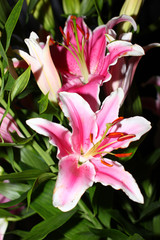beautiful pink lily flower as an decoration ornamental garden
