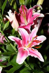 beautiful pink lily flower as an decoration ornamental garden