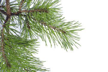 Pine branch close-up on a white background..