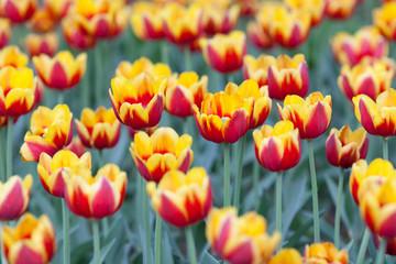 Aluminium Prints Tulip Yellow-white tulips planted on Yelagin Island in St. Petersburg
