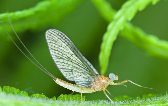 Mayflies or shadflies are insects belonging to the order Ephemeroptera