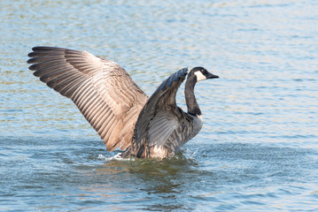 Canada Goose Spreads its Wings