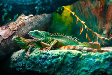 Türaufkleber Chamaleon Colourful Asian water dragon (Physignathus cocincinus) - smok wodny