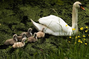 Photo Blinds Swan Zwaan met jongen