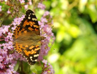 Vanessa cardui, Painted lady butterfly (Cynthia cardui) on Buddleja davidii