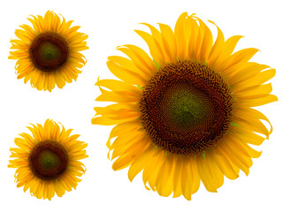 Sunflowers isolated on white background, Unseen Thailand flowers.