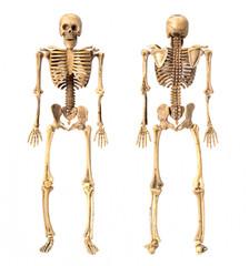 standing skeleton on white