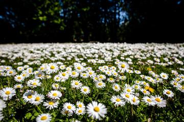 Wiese mit Gänseblümchen im Frühling