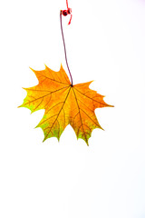 autumn leaves, photographed in the studio on a white background