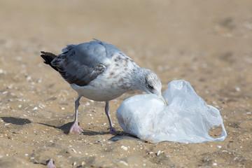 Möwe untersucht Plastiktüte am Strand
