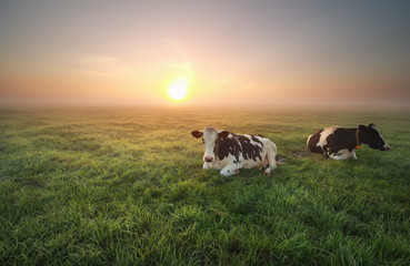 relaxed cows on pasture at sunrise Wall mural