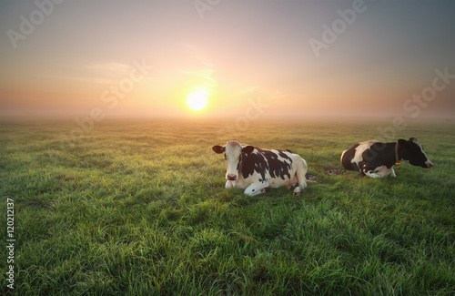Wall mural relaxed cows on pasture at sunrise