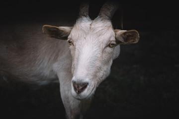 portrait muzzle goat