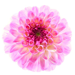 Pretty Pink Dahlia on a white background