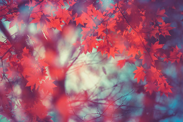 maple leaf red autumn tree blurred background
