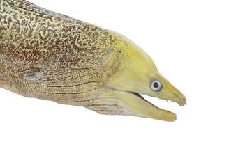 Moray eel fish isolated on white background
