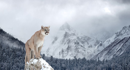 Photo sur Aluminium Puma Portrait of a cougar, mountain lion, puma, Winter mountains