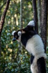 Black and White Ruffed Lemur Monkey, South Africa