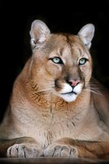 Poster Puma Puma portrait on black background