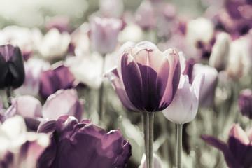 Fotoväggar - tulpen gefärbt
