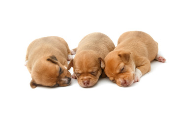 cute chihuahua puppies sleeping on white background
