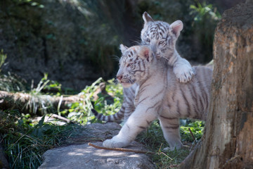 the white young tiger