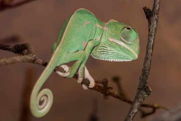 Young chameleon detail
