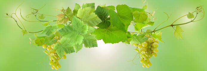 grappes et pampres de vigne, fond vert