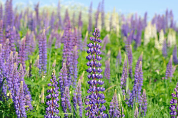 Meadow with lupine flowers