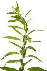 Sesame flowering