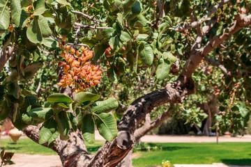 The pistachio tree.