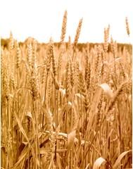 wheat plant. close-up.