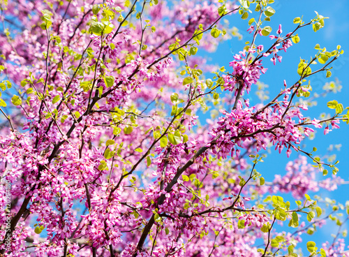 Blooming Sprig Of Acacia Cercis Against The Blue Sky Closeup