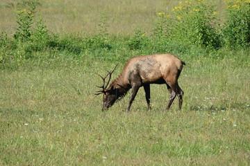 Bull elk in the National Park