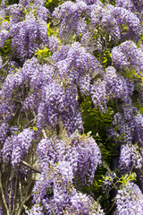 Profuse Wisteria flowers