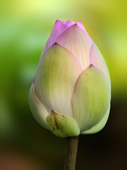 Closeup of a closed flower bud of nelumbo nucifera, also called Indian or sacred lotus