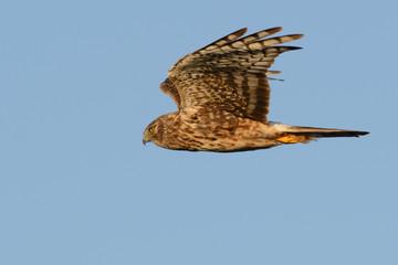 Northern Harrier hawk flying