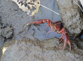 Crayfish in wet mud