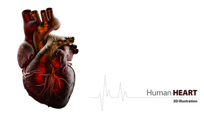 Anatomy of Human Heart Isolated on white