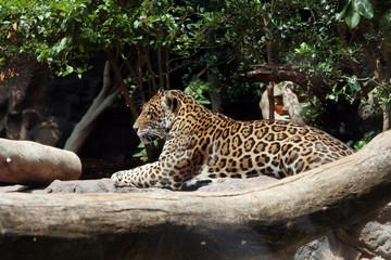 Leopard lies between branches of big trees (Леопрад лежит между ветками больших деревьев)