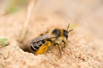 Raufüßige / Braunbrüstige / Dunkelfransige Hosenbiene / Rauhfüßige Bürstenbiene (Dasypoda hirtipes), Weibchen, sitzt auf Sandboden, Mecklenburg-Vorpommern, Deutschland