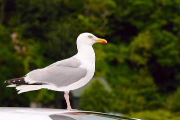 Seagull standing on a car.
